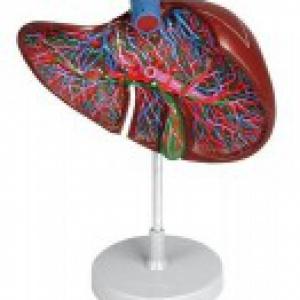 Mô hinh giải phẫu gan, túi mật.lớn bằng 1/5 kích thước thật